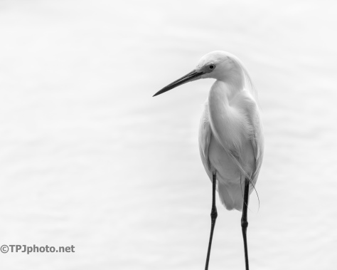 Snowy Egret, Black And White - Click To Enlarge