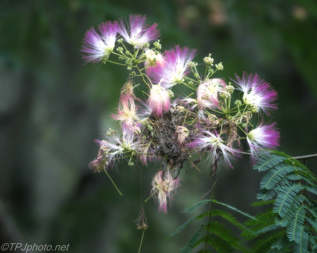 Soft Focus Mimosa - Click To Enlarge
