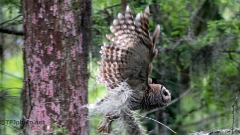 Barred Owl Moving On - Click To Enlarge