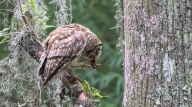 Barred Owl, A Good Hunt - Click To Enlarge
