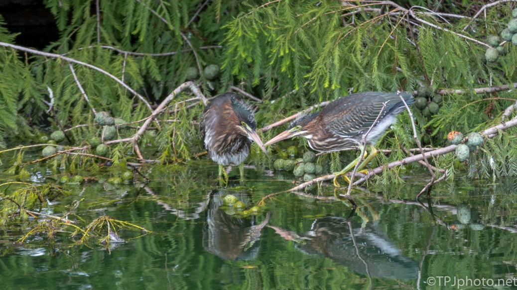 Young Green Herons Looking At Their Reflections - Click To Enlarge