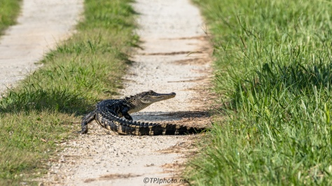 Who Has The Right Of Way, Alligator - Click To Enlarge