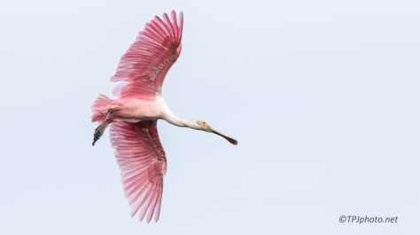 Roseate Spoonbills - Click To Enlarge