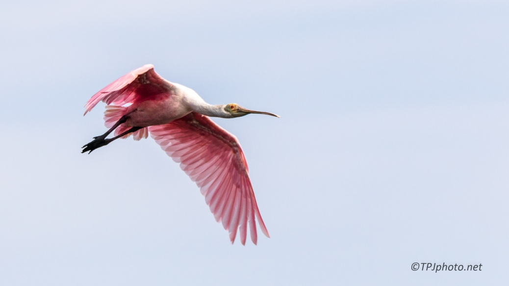 Fly By, Roseate Spoonbill - Click To Enlarge