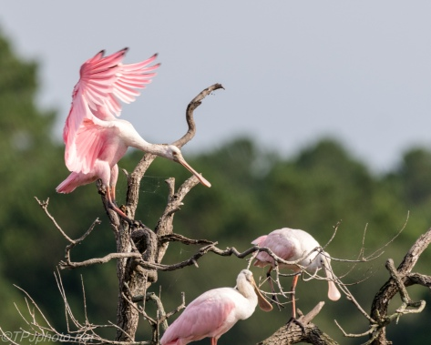 Acrobatic Spoonbill - Click To Enlarge