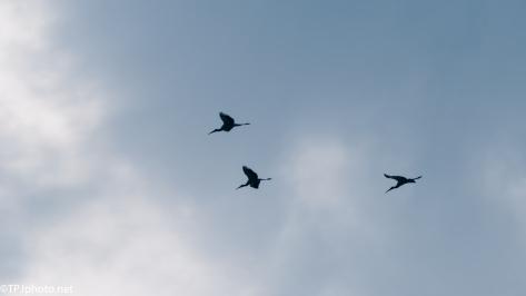 Wood Stork In Flight - Click To Enlarge