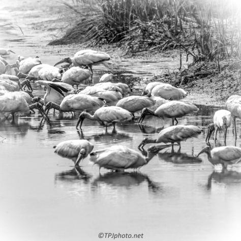 Storks Feeding - Click To Enlarge