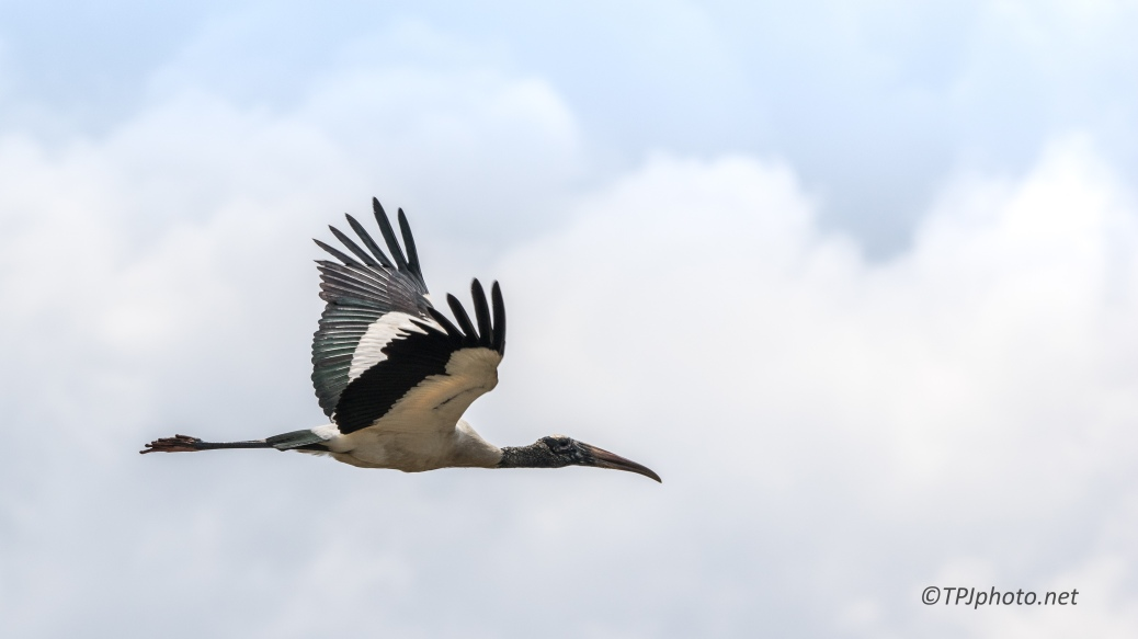 Wood Stork In Flight - Click To Enlarge