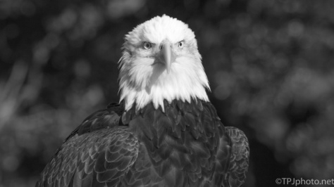 National Bald Eagle Day, June 20th