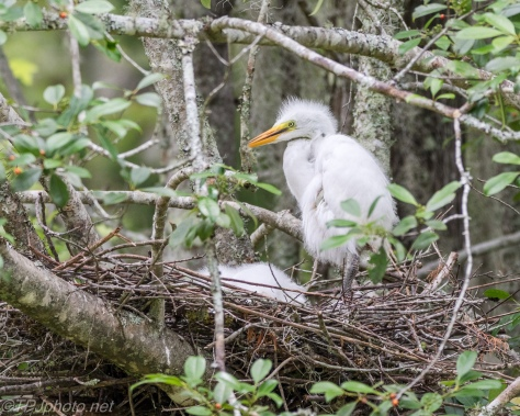 Baby Little Blue Herons - Click To Enlarge