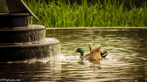 Ducks In A Fountain - Click To Enlarge