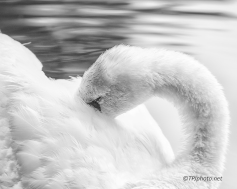 Swan, B&W - Click To Enlarge
