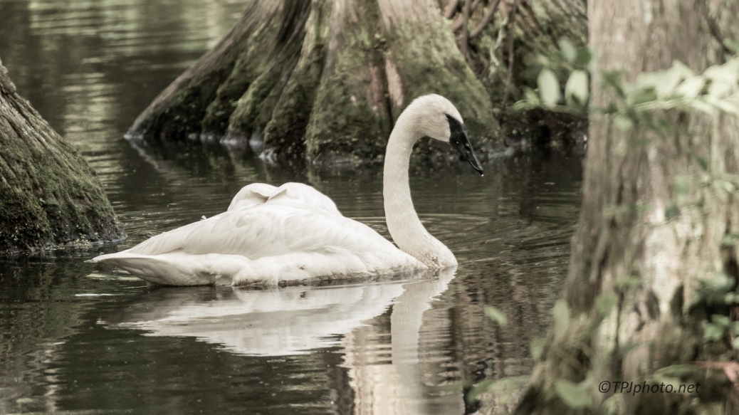 Swan, Soft Photograph - Click To Enlarge