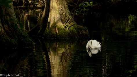 Swan Series - Click To Enlarge