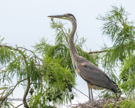 Great Blue Heron Youngster, All Alone - Click To Enlarge
