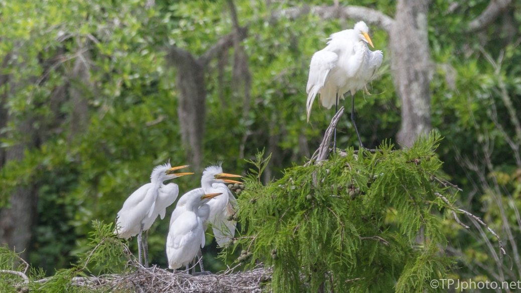 Great Egret, Adult Keeping A Distance From the Young Ones - Click To Enlarge