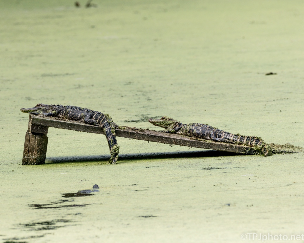 Alligators Bunching Up - Click To Enlarge