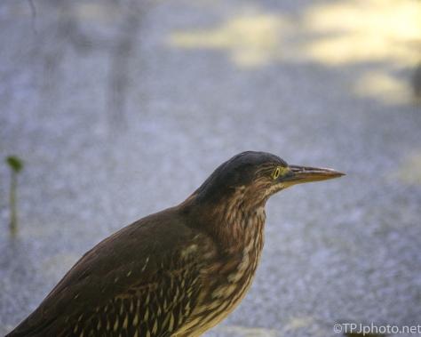 Green Heron Close Up - Click To Enlarge