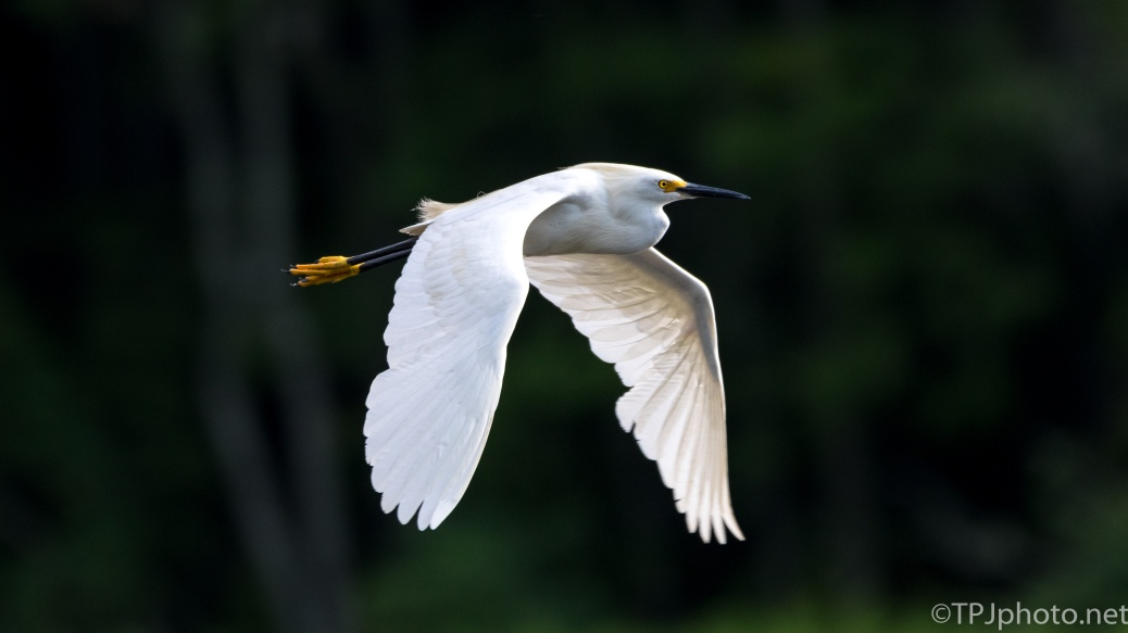 Snowy Egret In Flight - Click To Enlarge