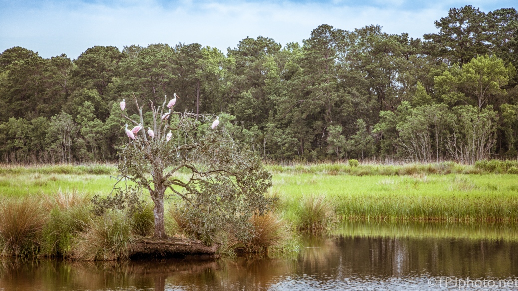 Landscape Of Resting Spoonbills - Click To Enlarge