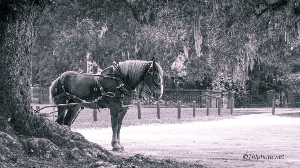 Carriage Horse, B&W - Click To Enlarge