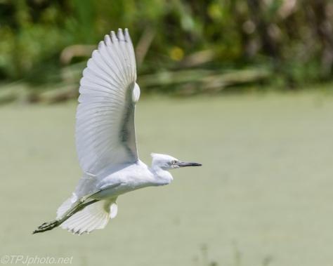 A Short Hop, Little Blue Heron - Click To Enlarge