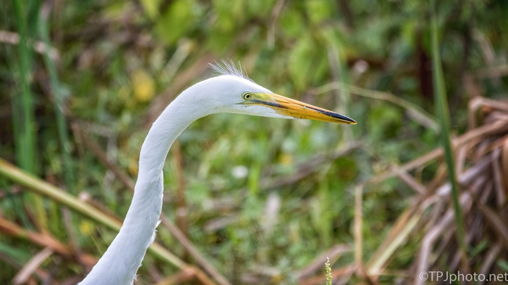 Great Egret Head Shot - Click To Enlarge