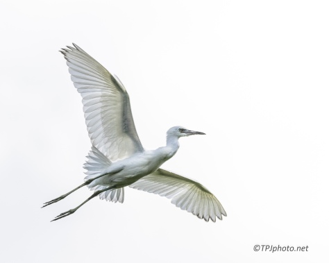Young Little Blue Heron In Flight - Click To Enlarge