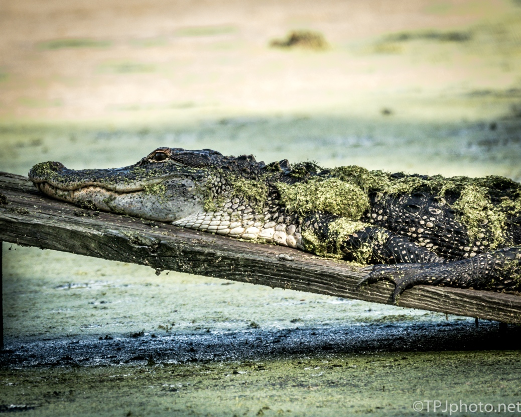 Alligators, Always There On A Slow Day - Click To Enlarge