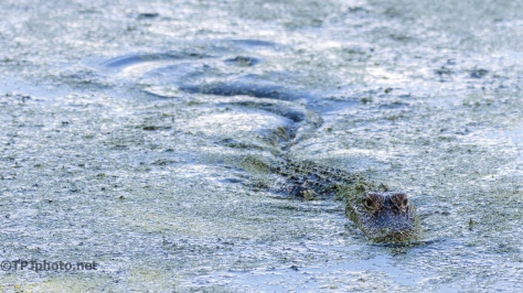 Coming Over, Alligator - Click To Enlarge