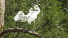 Insistent Young Egret - Click To Enlarge