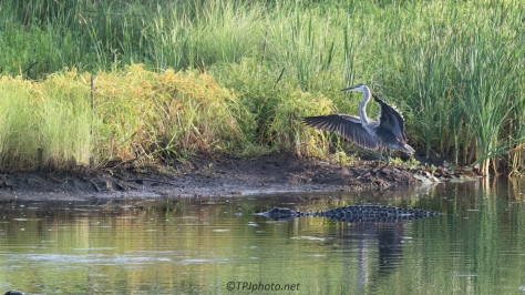 Great Blue Heron, Never Saw The Alligator - Click To Enlarge