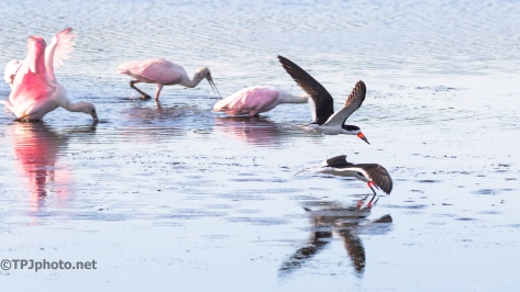 Skimming Between The Spoonbills - Click To Enlarge