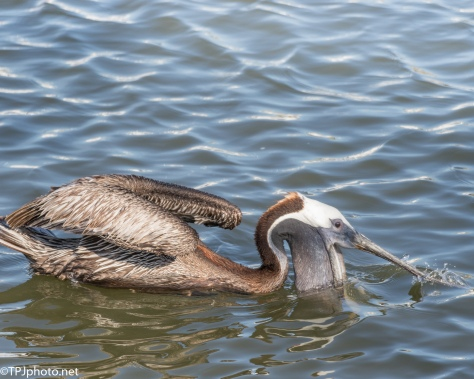Snatch A Little Lunch, Pelican - Click To Enlarge