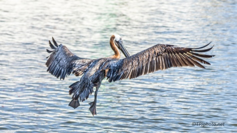 I Heard Him Coming In, Pelican - Click To Enlarge