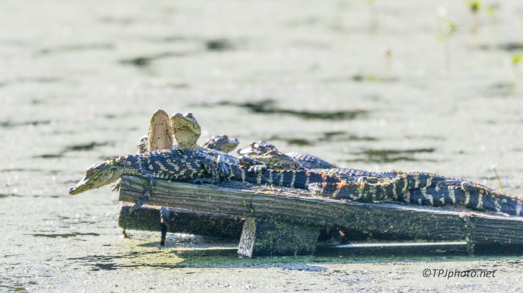 The Kids At The Beach, Alligators - Click To Enlarge