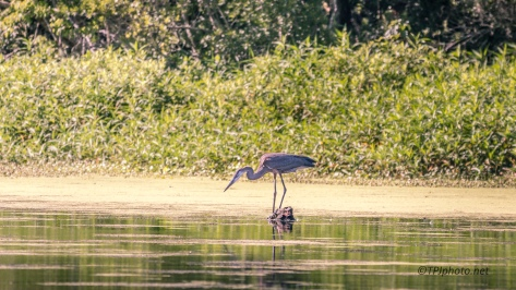 Could Not Pass It Up, Great Blue Heron - Click To Enlarge