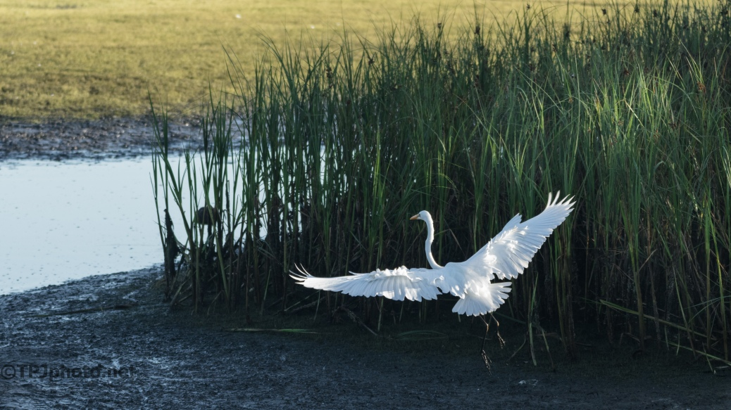 Egret Early Morning Sun In A Marsh - Click To Enlarge