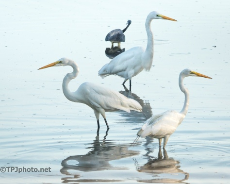 Great Egrets Flock - Click To Enlarge