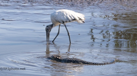 Alligator And Stork - Click To Enlarge