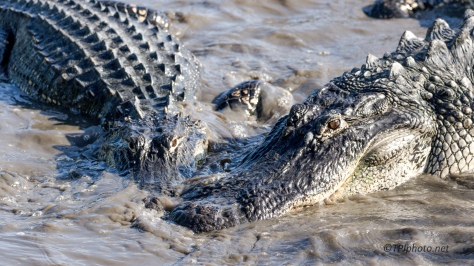 They Don't Share Well, Alligators - Click To Enlarge