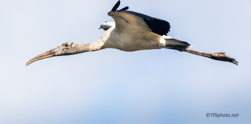In Flight, Wood Stork - Click To Enlarge