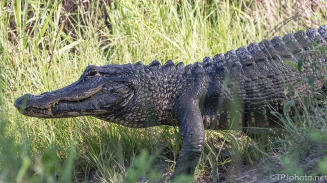 Quick Shot, Alligator - Click To Enlarge