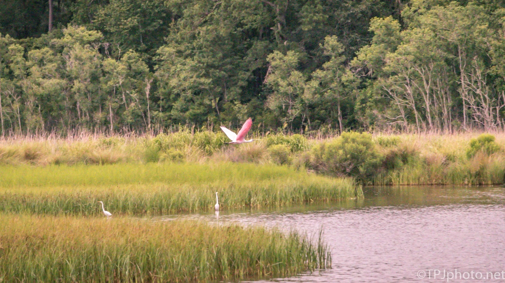 Marsh Fly Over, Spoonbill - Click To Enlarge