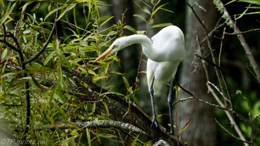 Great Egret In The Thickets - Click To Enlarge