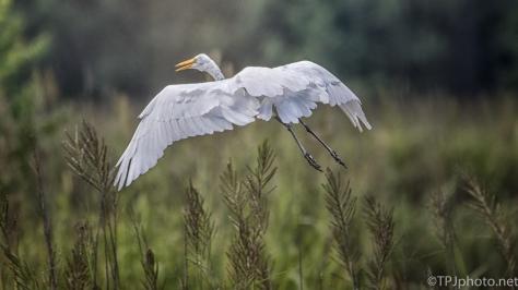 Pop Up Egret - Click To Enlarge