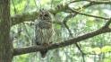 Barred Owl Visit - Click To Enlarge