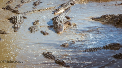 Alligators, Open Flood Gate - Click To Enlarge