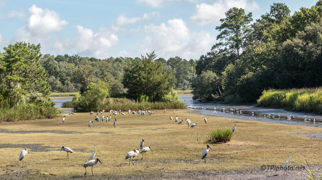 Storks Gathering - Click To Enlarge