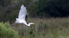 Egret, Exit Stage Right - Click To Enlarge